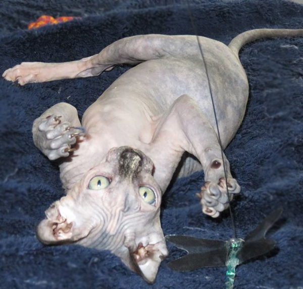 Sphynx Breeder Review